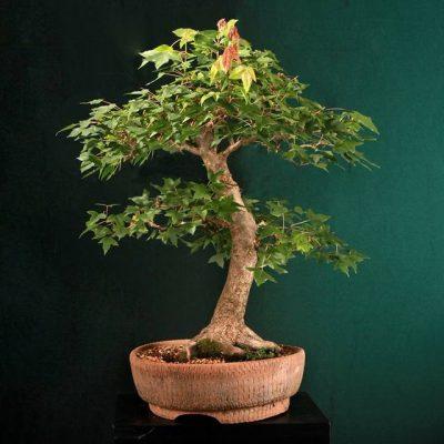 bonsai11