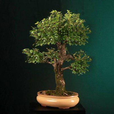 bonsai12