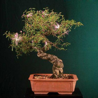 bonsai13