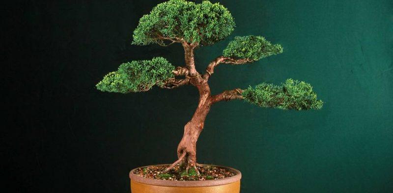 bonsai9